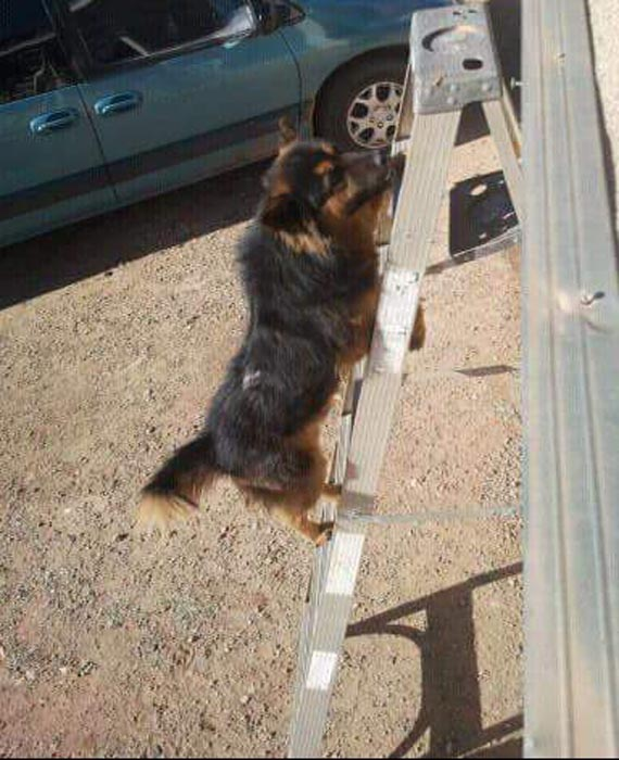 Scruffy Climbs a Ladder by Krista Begay of Dine' College